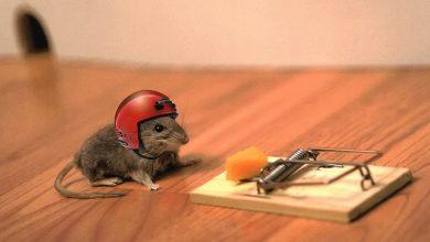 Photo of ۱۰ محصول دفع موش در خانه و محل کار